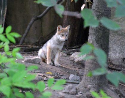México contribuye a conservación de especies: nacen seis crías de lobo autóctono